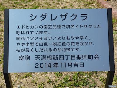 枝垂桜の説明