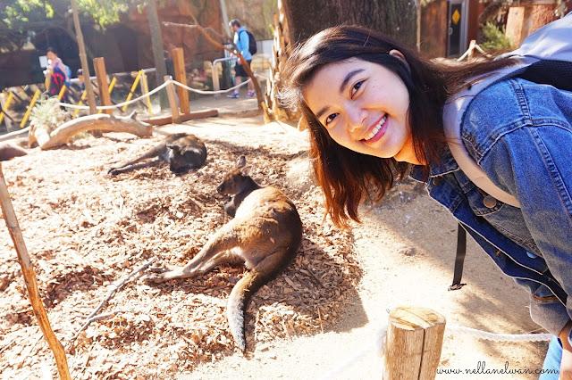 lihat kangoroo di Sydney Zoo
