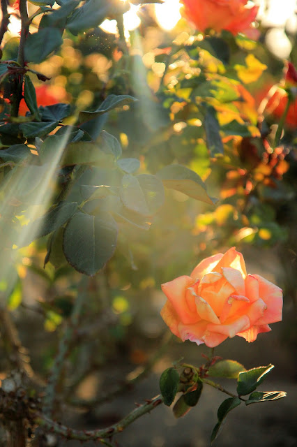 Orange Rose in the Morning Sun - Flower Photography by Mademoiselle Mermaid