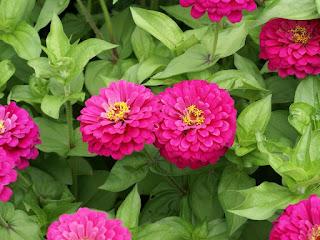 Zinnia elegans 'Uproar Rose'