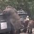 Porco gigante apelidado de ''Porcozilla'' é flagrado na China fuçando uma lixeira atrás de comida