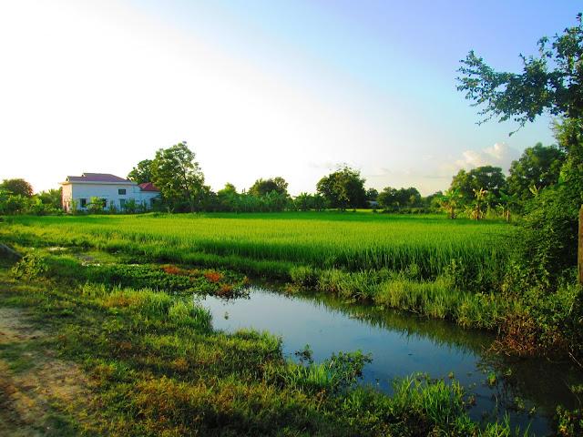Cayendo la tarde entre los campos de arroz en Battambang