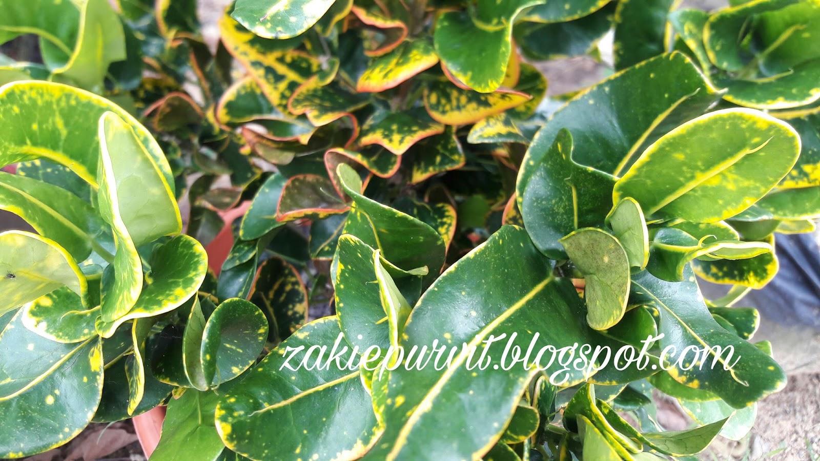 titisan nurani hijau kuning dedaun