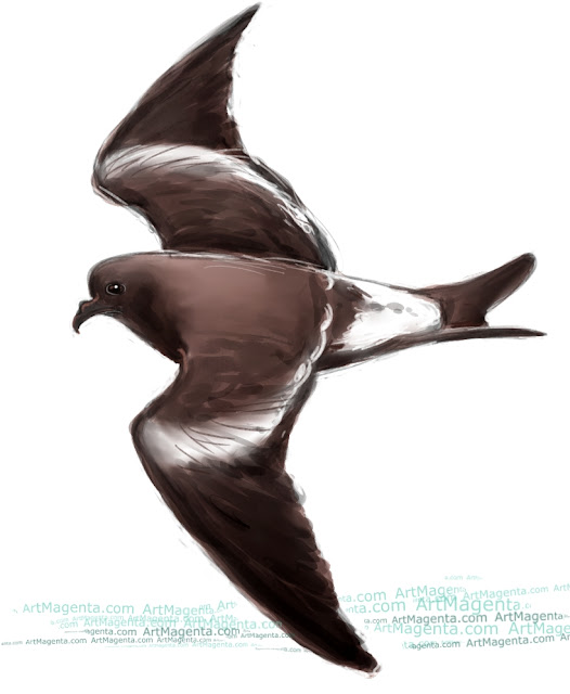 Leach's storm petrel sketch painting. Bird art drawing by illustrator Artmagenta