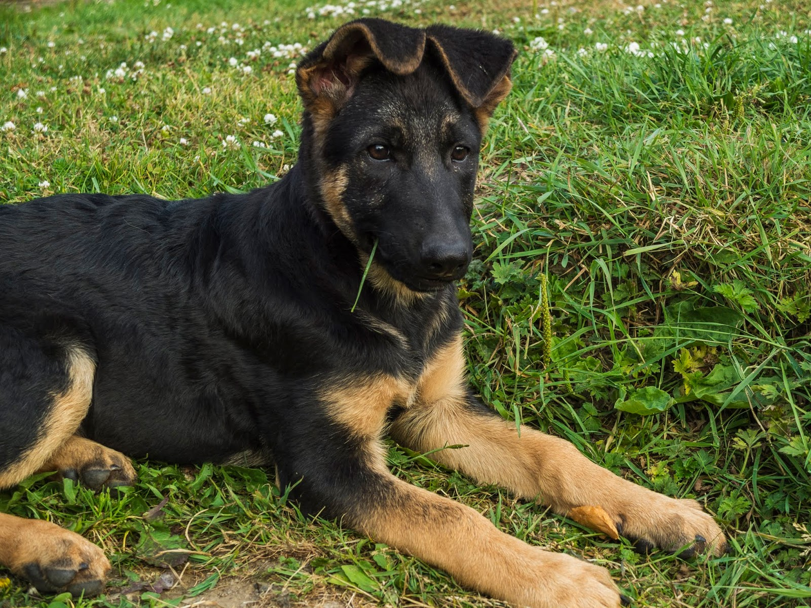 A German Shepherd puppy sitting on grass with folded ears and a grass blade hanging out of her mouth.