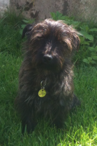 canin sans famille lewis 2 ans crois cairn terrier adorable adopt. Black Bedroom Furniture Sets. Home Design Ideas