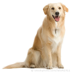 Leptospirosis Bacterial in Dogs