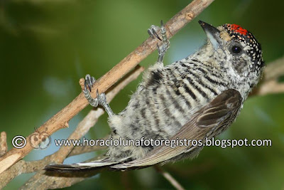 White barred Piculet