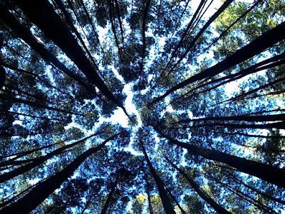 Wisata Hutan Pohon Pinus Imogiri