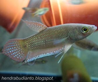 Jenis Ikan Cupang Spesies Betta Obscura
