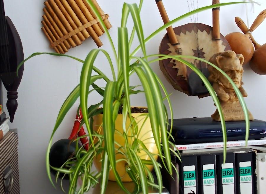 La forma y el color hace que la Cinta sea una planta muy decorativa