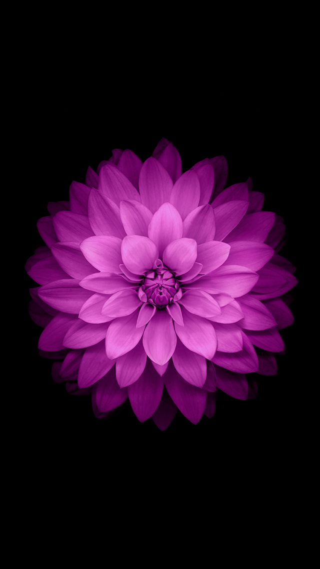 Pink flower ios 8 wallpaper for iphone 6