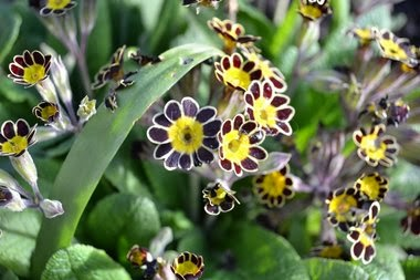 Mature Polyanthus 'Gold Lace' plants in full flower