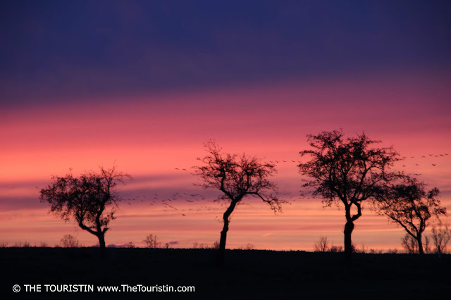 Eurasian Cranes flying over fields with a few bare trees; a pink and lilac sunset as a background.