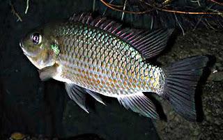 Umpan-Mancing-Ikan-Nila-Malam-Hari