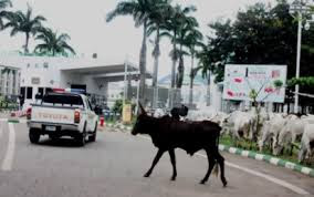 Cows Everywhere: How Herdsmen Accessed National Assembly