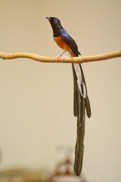 Selayang Pandang Burung Murai Batu
