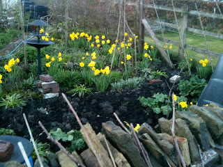 gardening, daffodils, life on pig row