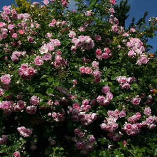 grimpant remontant rose