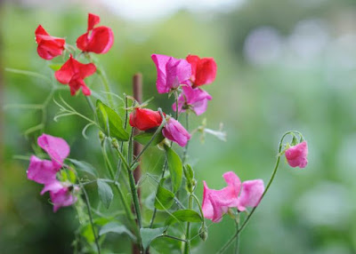Jasa Tukang taman Surabaya Bunga Yang Harum Wangi