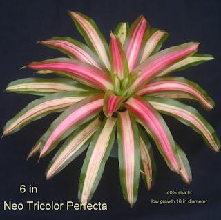 Bromelia-Tricolor-3-warna