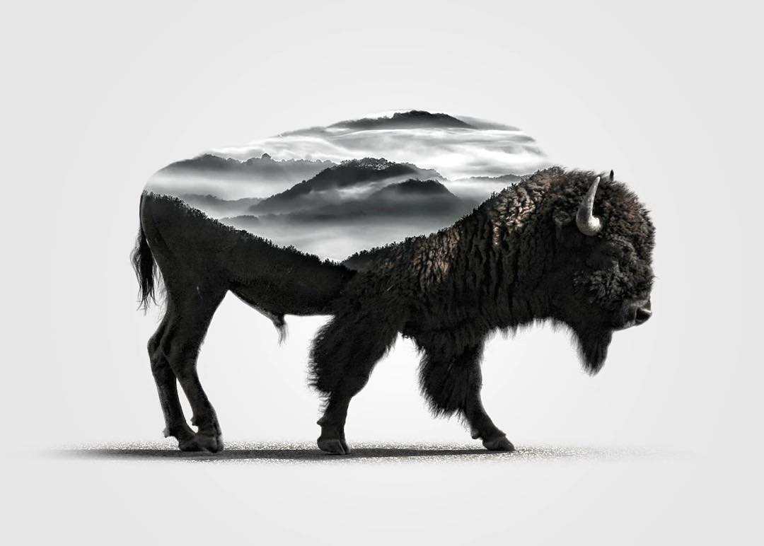 12-Buffalo-Alexis-Nevess-nevessart-Photographic-Double-Exposures-of-people-and-Animals-www-designstack-co