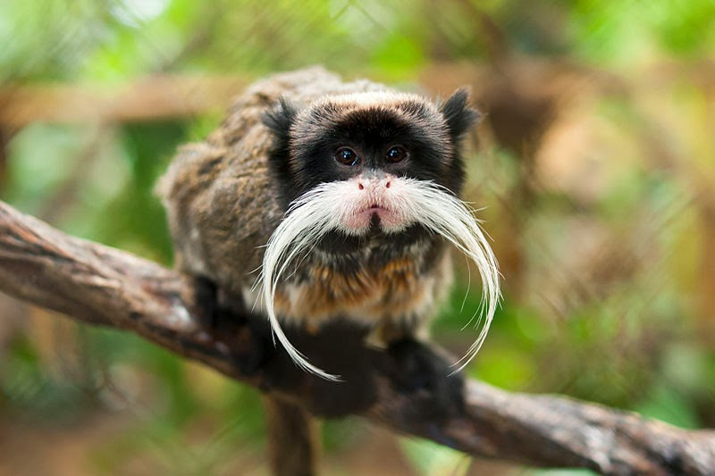 Image of a Black-chinned emperor tamarin