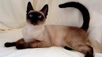Siamese cat pictures_Felis catus