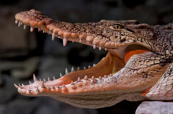 Niña de 10 años se zafa de un caimán gracias a consejo de parque temático