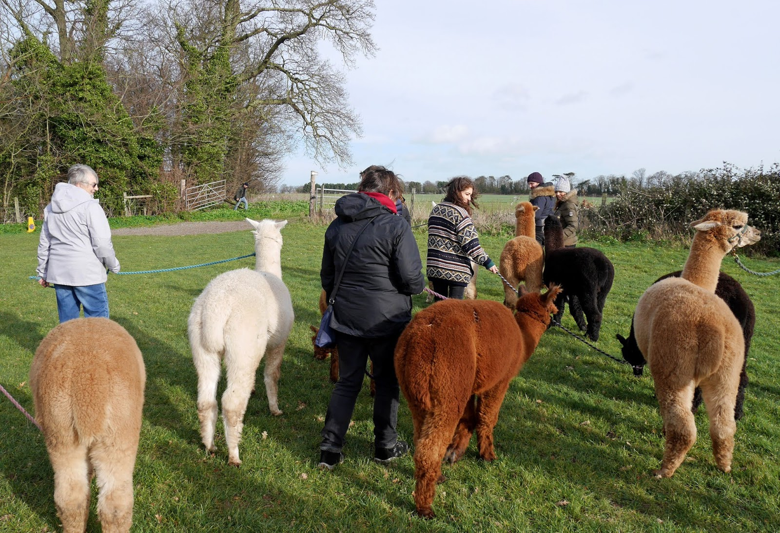 Alpaca trek with Woodland View Alpacas in Birchington, Kent