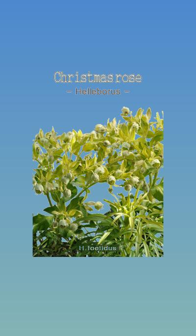 Christmas rose [Helleborus] H.foetidus