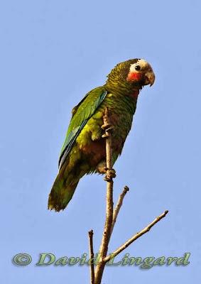 Amazona cubana: Amazona leucocephala