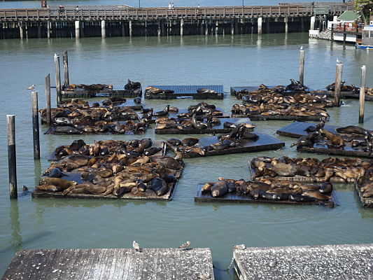 sea lion pier 39 san francisco