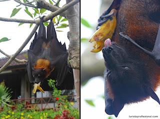 Classe: Mamífero Hábitos alimentares: Frugívoro Longevidade: 30 anos. Dieta: Frutas e néctar. Tamanho: Até 2m de envergadura. Peso: 1,5kg. Distribuição geográfica: Sudeste da Ásia. Habitat: Florestas tropicais e pântanos. Status de conservação:  Ameaçado.