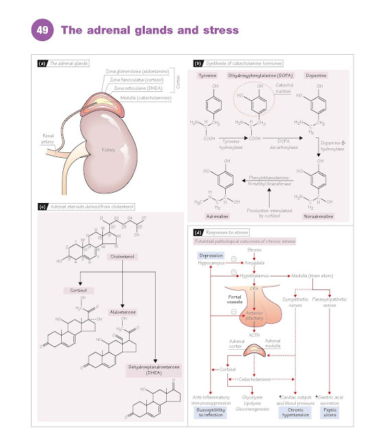 The Adrenal Glands And Stress