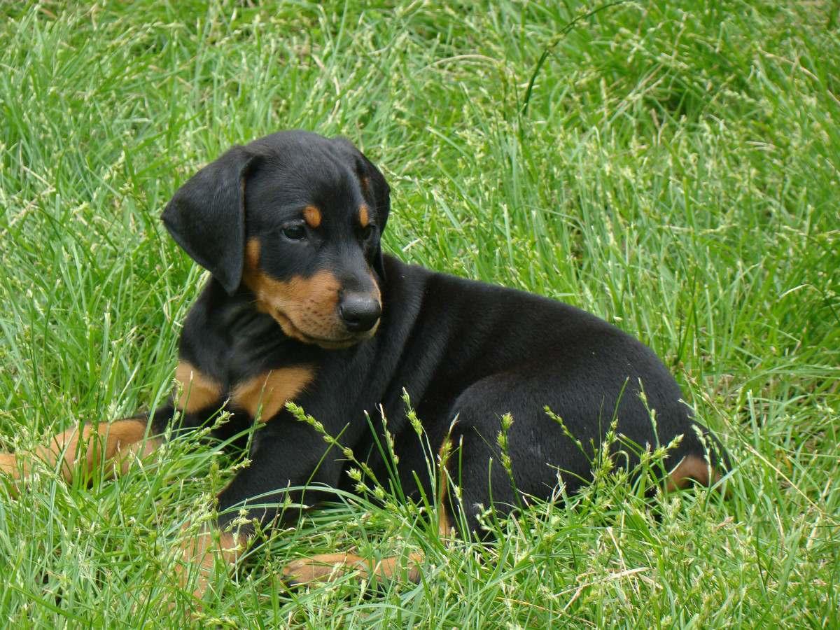 Mascotas en el hogar fotos y dibujos de perro doberman - Coupe des oreilles dobermann ...