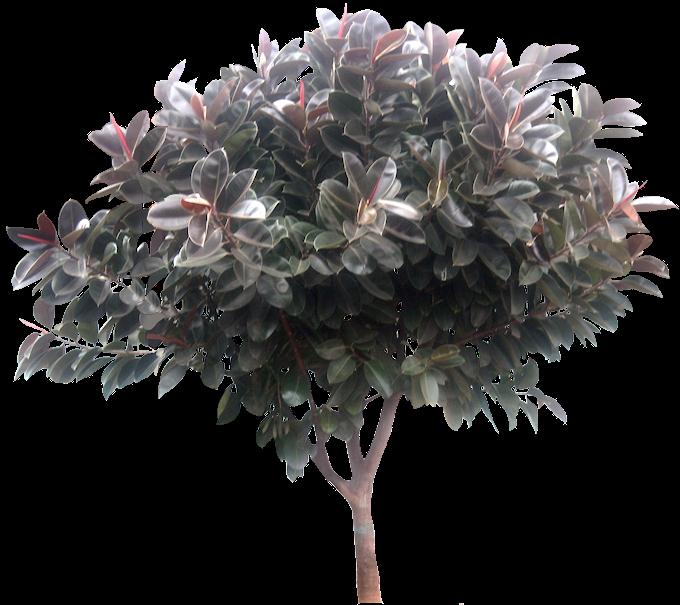 Tropical Plant Pictures Ficus Elastica Rubber Fig