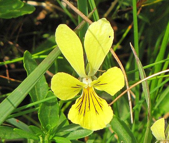 Fiołek żółty (Viola lutea).