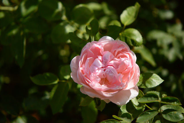 rose, st. swithun, small sunny garden, garden bloggers bloom day, amy myers, desert garden