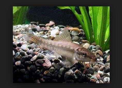 Chinese Algae Eater (CAE) Ikan Pembersih Akuarium Air Tawar