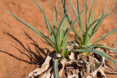 Pancratium illyricum leaves.