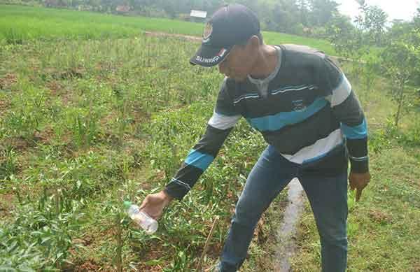 petani majalengka terpaksa usir hama dengan pestisida