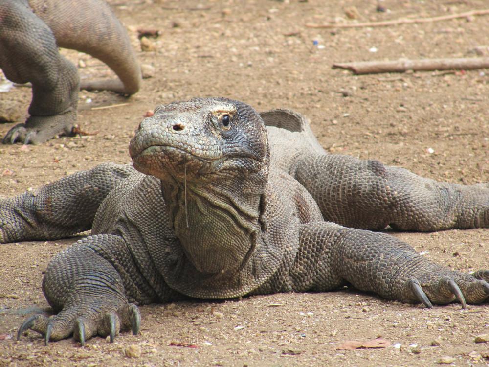 Sonderbare Tierwelt: Komodowaran  Sonderbare Tier...