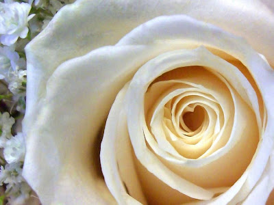 White Rose Normal Resolution HD Wallpaper 15