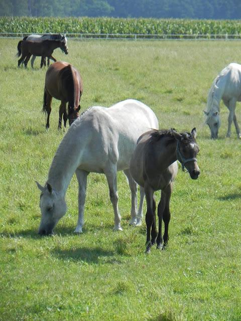 konie rasy arabskiej
