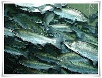 Salmon Fish Animal Pictures