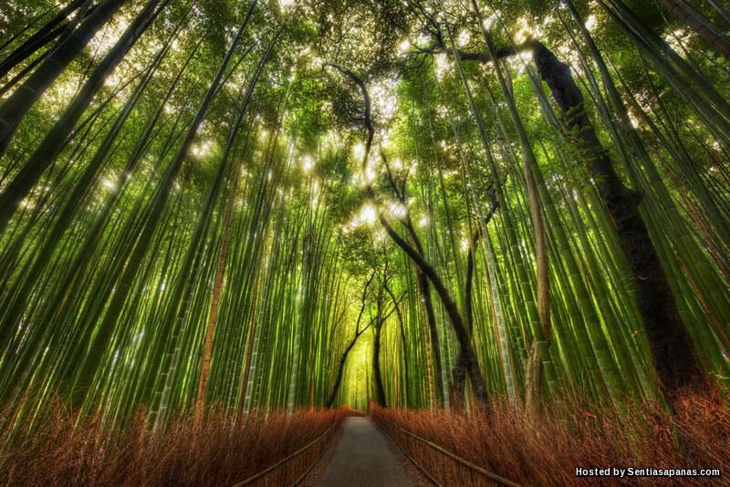 Unik! Hutan Buluh Paling Cantik Di Dunia