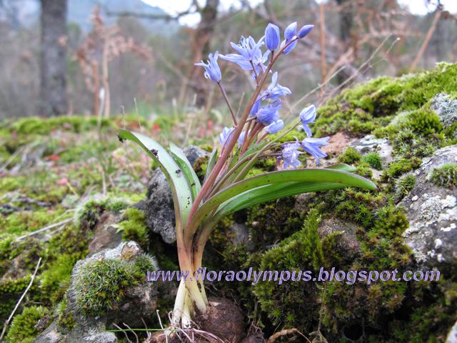 kwitnący niebieski hiacynt