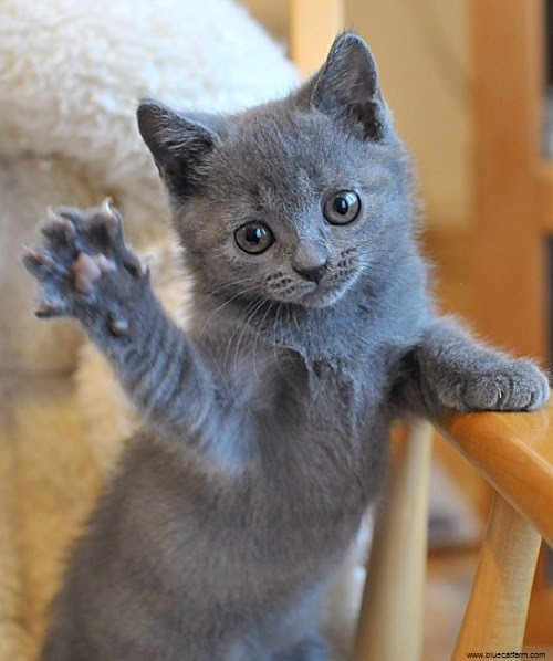 Photo chaton chartreux gratuit