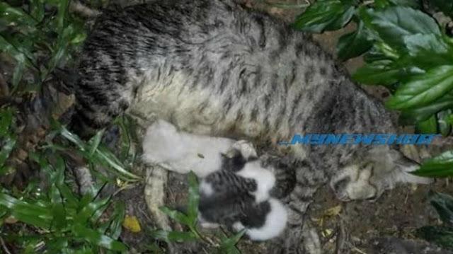 Sedih, Anak Kucing Yang Lapar Ini Masih Terus Menyusu Induknya Yang Sudah Meninggal
